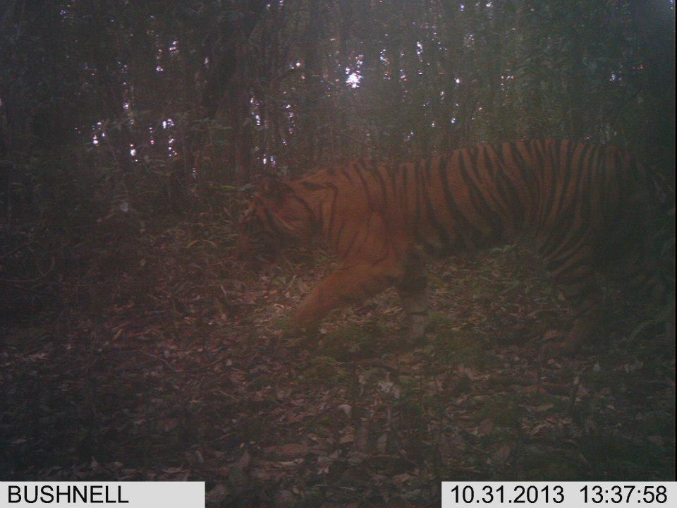 harimau sumatera camera trap